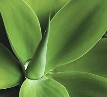 Agave by Andy and Von Quinn