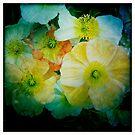 Poppies by Steve Lovegrove