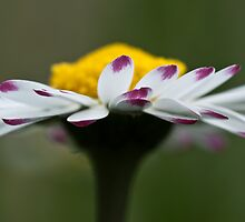 Close Up Daisy by Karen Havenaar