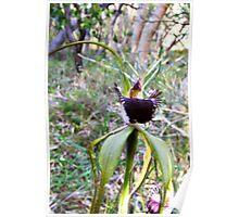 King spider orchid, Caladenia pectinata Poster