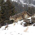 Snow Leopard 6 by mrshutterbug