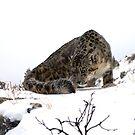 Snow Leopard 7 by mrshutterbug