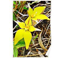 Cow slip orchid, aladenia flava Poster