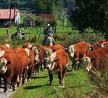 """moving the boys II""  flagstaff hereford stud, nz by rina  thompson"