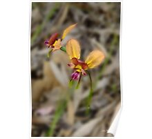 Pansy orchid, Diuris magnifica Poster
