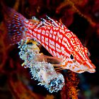 Long Nose Hawkfish by allyazza