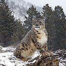 Snow Leopard 10 by mrshutterbug