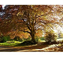 Copper Beech in Rural Hampshire  Photographic Print