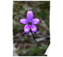 Purple enamel orchid, Elythanthera brunonis Poster