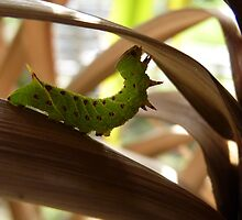 Hawkmoth caterpillar stretching by Pamela Baker