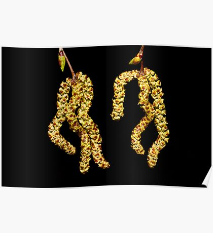 Silver Birch Catkins Poster