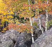 On the Rocks - Aspens Along Bear Lake Road in Rocky Mountain National Park by Teresa Smith