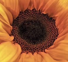 Sunflower - Macro Close Up by David Alexander Elder