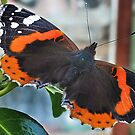 Red Admiral    Vanessa atalanta by relayer51