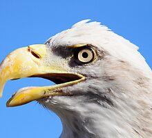 American Bald Eagle by imagetj