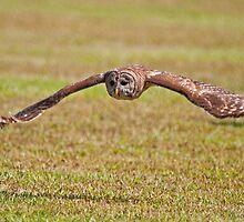 Barred Owl in Flight by imagetj