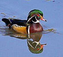 Wood Duck - Aix sponsa by Chuck Gardner