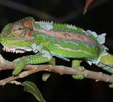 Cape Dwarf Chameleon by Etwin