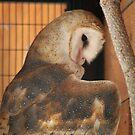 Barn Owl by starbucksgirl26