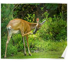 White Tailed Deer Scratching it's Nose Poster