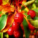 Cherry Berry ©  by Dawn M. Becker