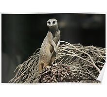 Meerkat at Adelaide Zoo Poster