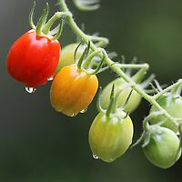 wee tomatoes after the rain by Iris Mackenzie