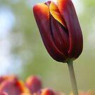 Darkred tulip by Lindie