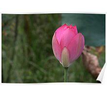 Lotus Fogg Dam Poster