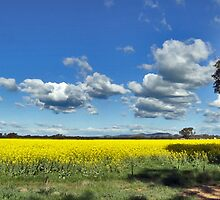 Canola spread by RedMonkey Photography
