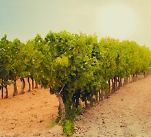 Vineyard Field in Southern France by dvoevnore