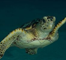Hawksbill Turtle by Todd Krebs