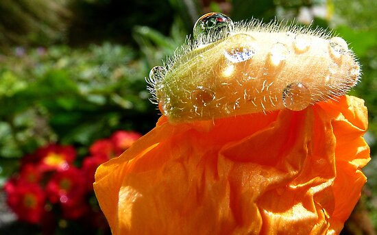 The Shower Cap - Orange Poppy - NZ - Southland by AndreaEL
