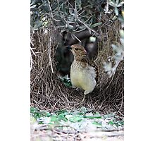 Spotted Bowerbird Photographic Print