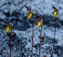 Four Flying Duck Orchids, Paracaleana nigrita by Julia Harwood