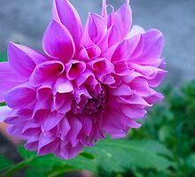 For the love of Dahlias! by MarianBendeth