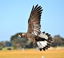 Black Cockatoo In Flight Busselton Western Australia  by Coralie Plozza