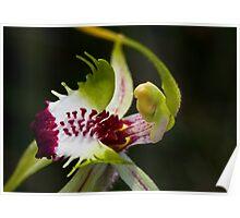 Caladenia tentaculata Mantis Orchid Poster