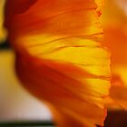 Yellow Poppy by Janet Leadbeater