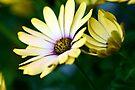 Lemon Daisies by Renee Hubbard Fine Art Photography
