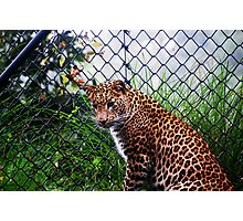 Panther - Leopard Photographic Print