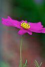 Lone Daisy by Renee Hubbard Fine Art Photography