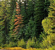 Flathead National Forest by rocamiadesign
