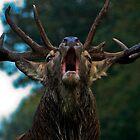 Red Deer by Dawn OConnor