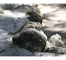 Numbat on rock, Perth Zoo Photographic Print