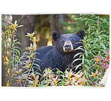 Black bear in the berries Poster