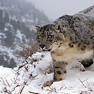 Snow leopard 11 by mrshutterbug