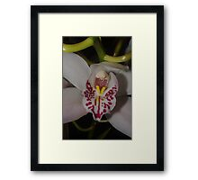 Helena's orchid Framed Print