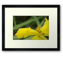 Yellow Iris and tiny cockroach Framed Print