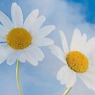 Two daisies by natans